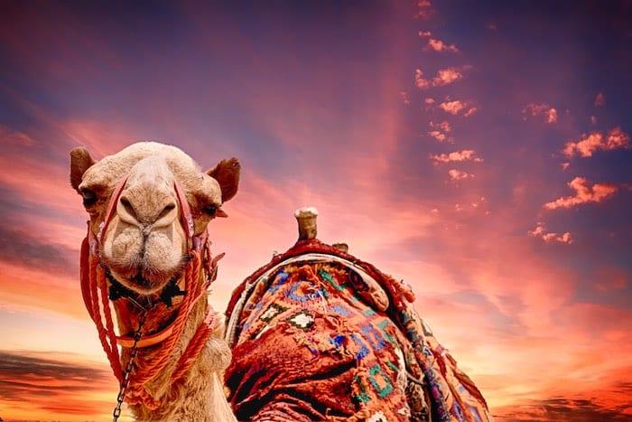 Camel Race Abu Dhabi